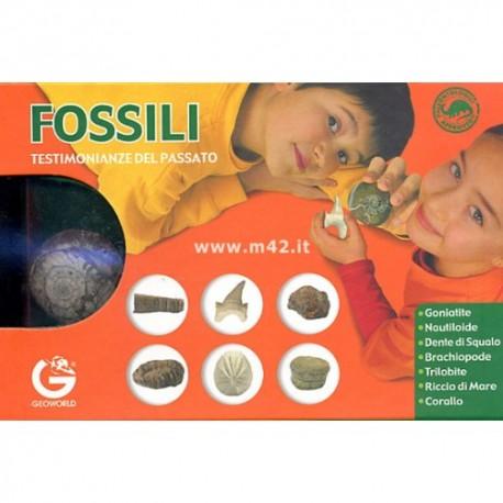 Collezione di fossili autentici